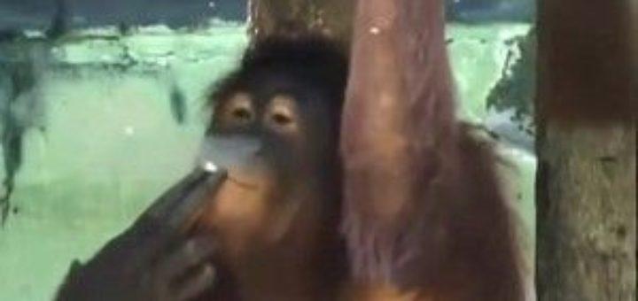 Орангутан пристрастен към цигарите - снимка