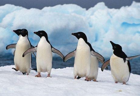 Снимка на пингвини