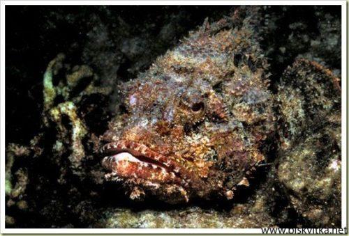 kamenna riba