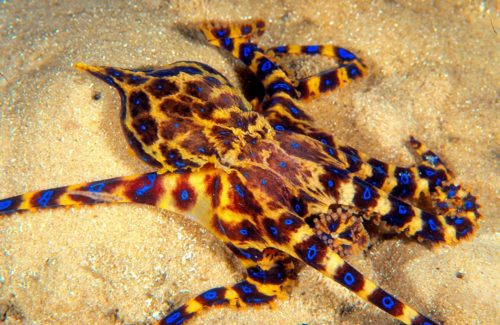 синьо-пръстеннен октопод