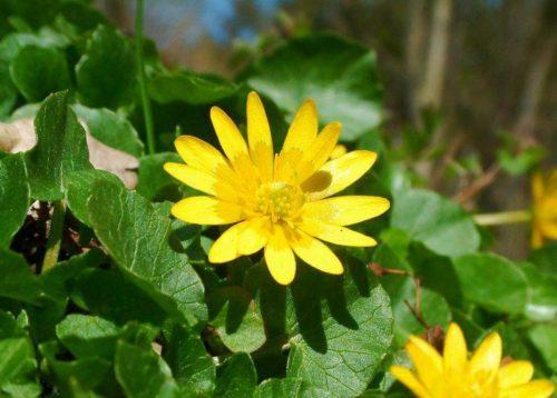 ranunculus-ficaria=lesser-celandine(1)