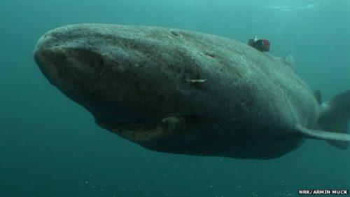 Гренландска Акула
